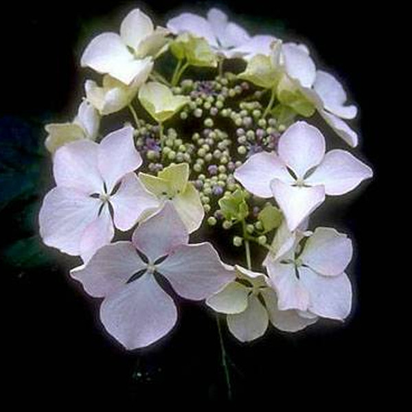 'Beaute Vendomoise' Hydrangea Bloom
