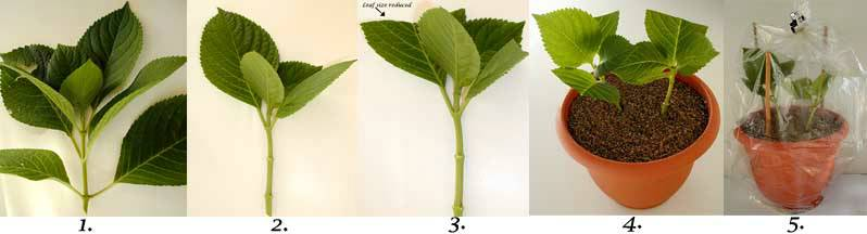 5-steps-to-rooting-and-propagating-hydrangeas-compressor.jpg