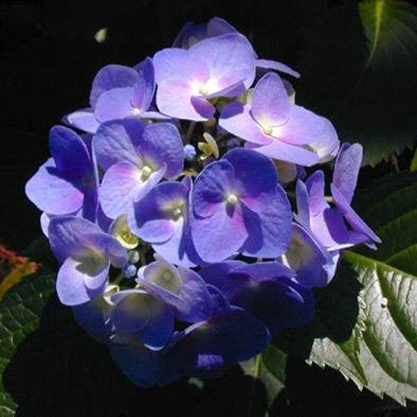 Altona Hydrangea Blooming