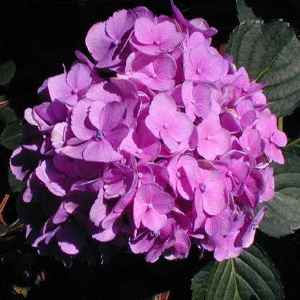 Amethyst Hydrangea Flowers