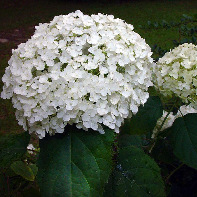 Annabelle Smooth Hydrangea White Blooms