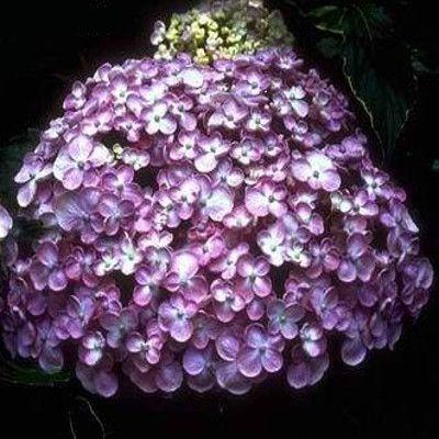 Ayesha Hydrangea Blooms
