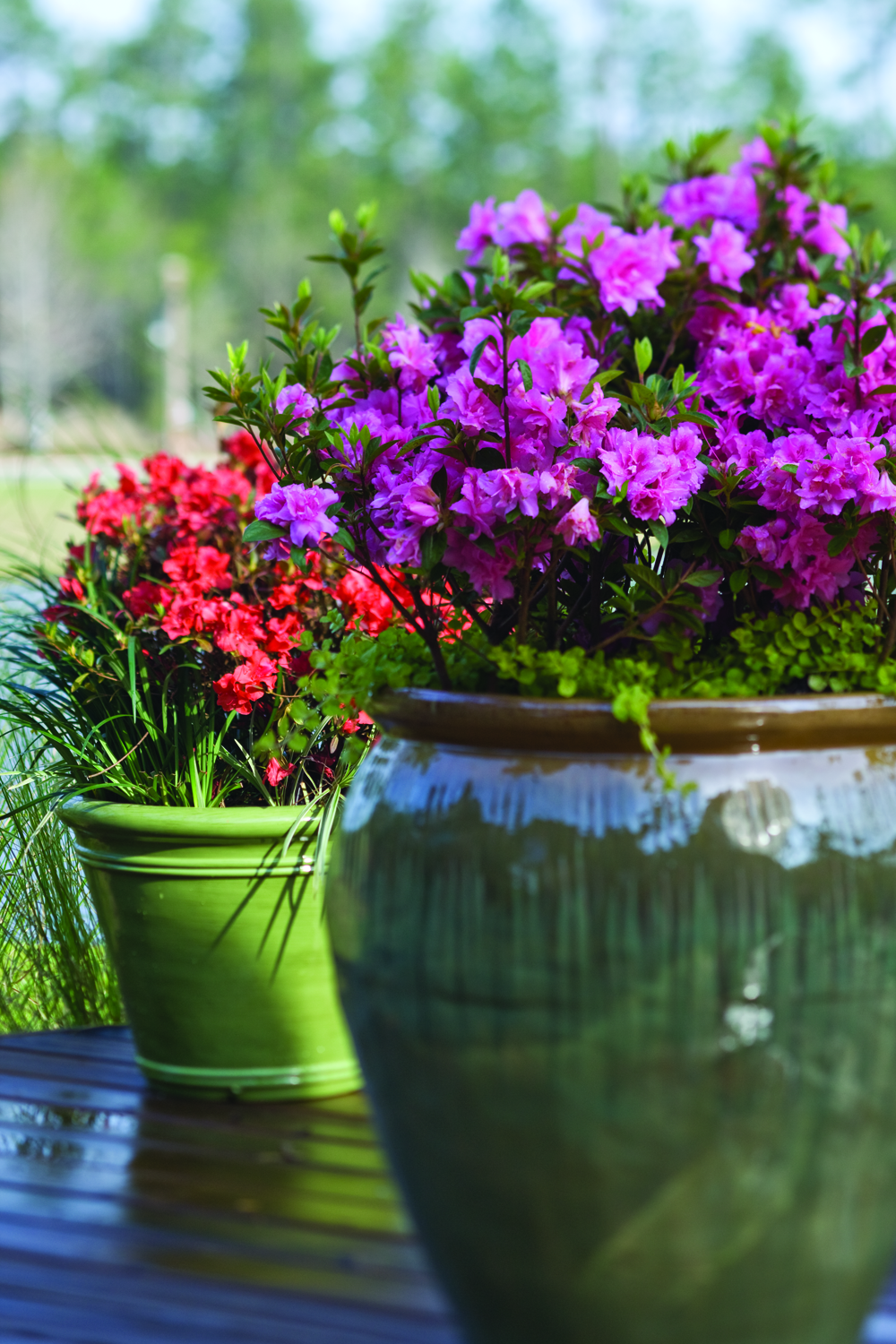 Plant Addicts & 4 Tips for Growing Azaleas in Pots - Plant Addicts