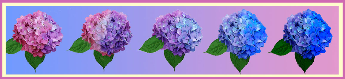 Pink to Blue Hydrangea Color Change