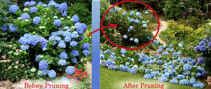 a pruning story gail from trussville alabama has a beautiful blue hydrangea actually she has several the picture on the left above - Hydrangea Bush