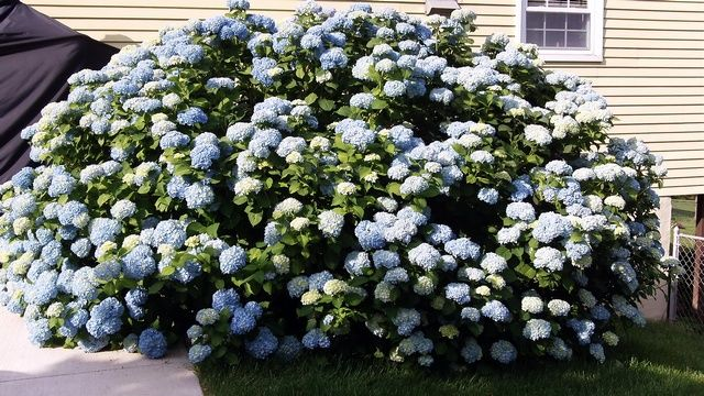 Blooming Hydrangea after nonpruning year!