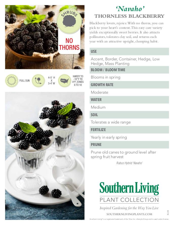Navaho Blackberry Plant Facts