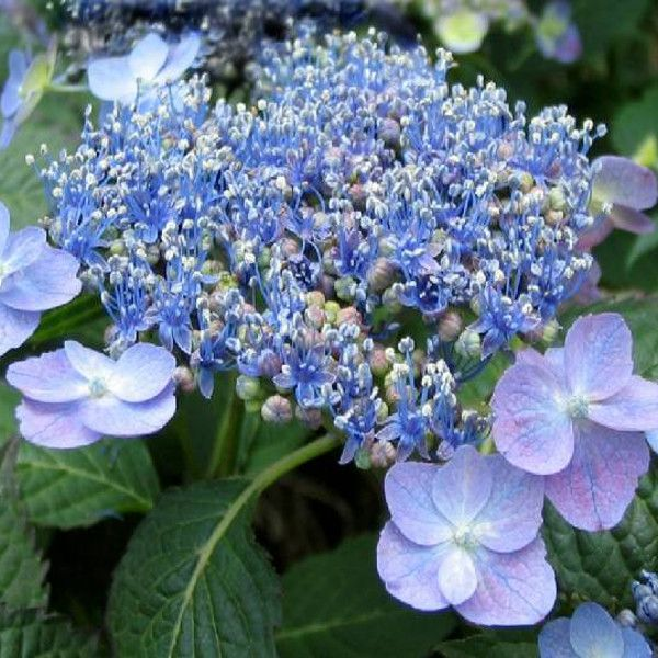 Blue Billow Hydrangea Bloom