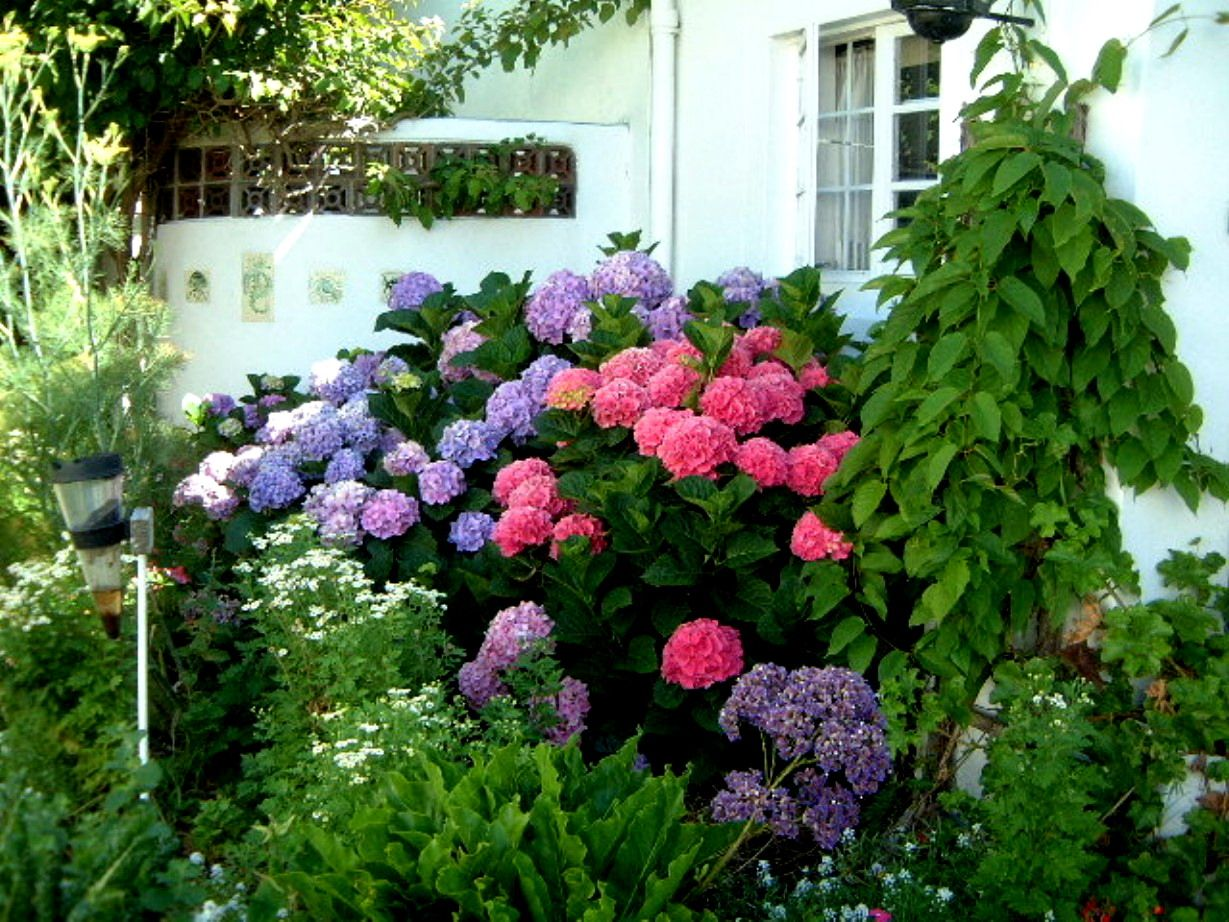 Blue Pink Hydrangea Colors on Bush
