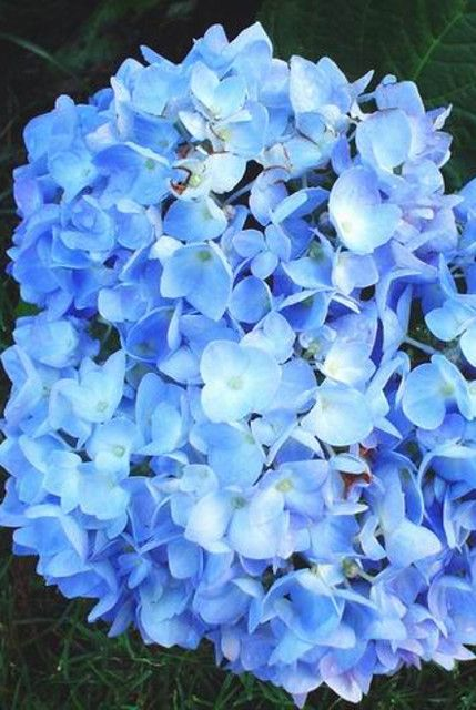 Changing Hydrangea Color to Blue