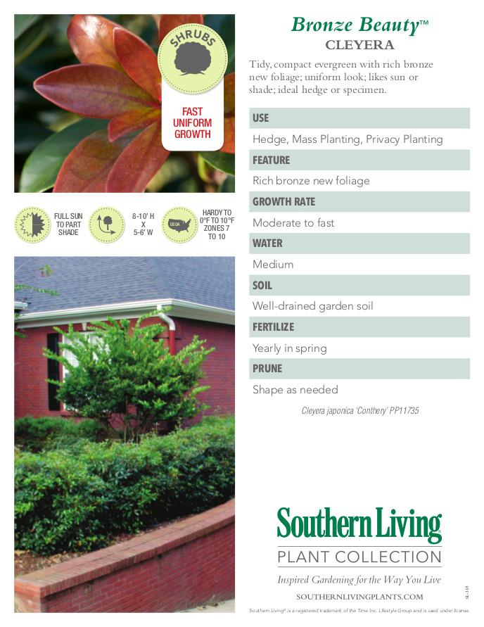 Bronze Beauty Cleyera Plant Facts