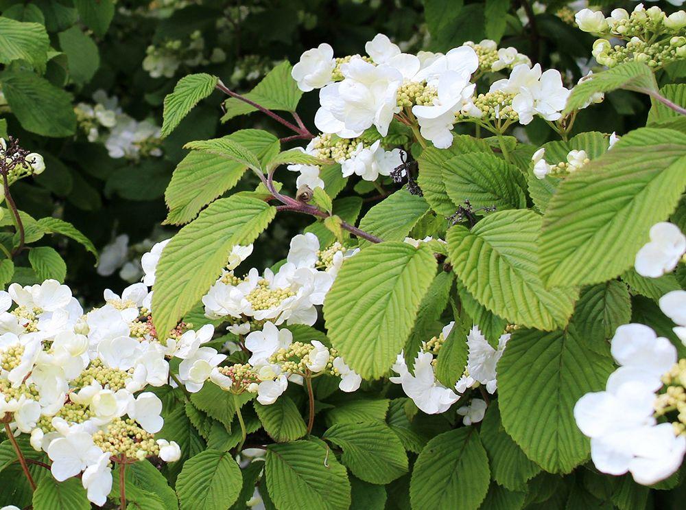 climbing-hydrangea-flowers-compressor.jpg