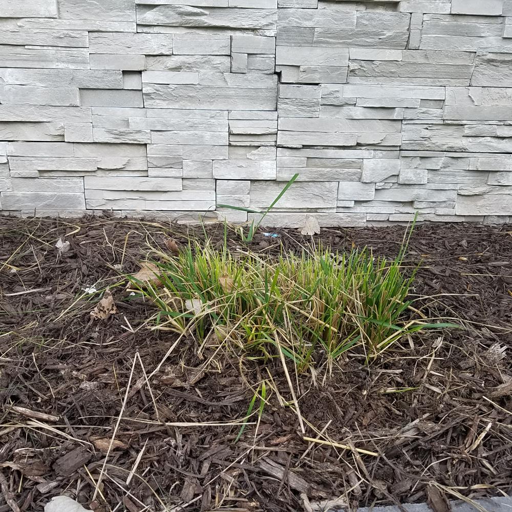 Cutting Back Ornamental Gres Plant