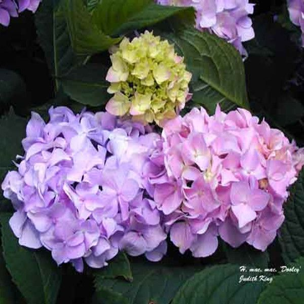Dooley Hydrangea Flower