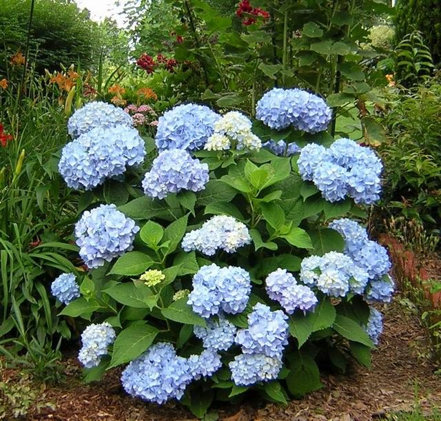 Hydrangea Macrophylla 'Endless Summer