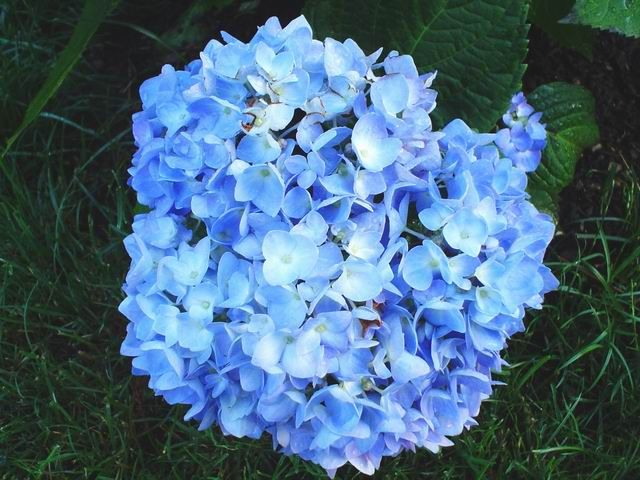 Rhode Island Endless Summer Blue Flowers