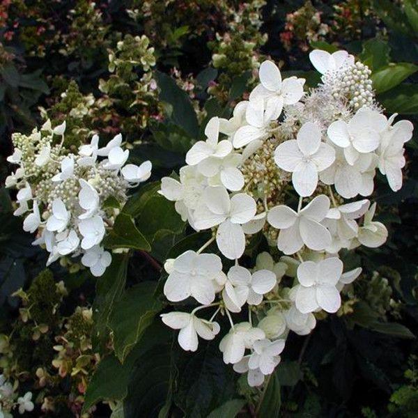 Floribunda Hydrangea Blooms