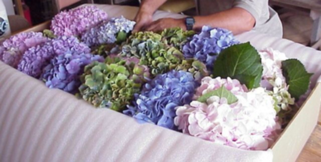 Grower Boxing Hydrangeas