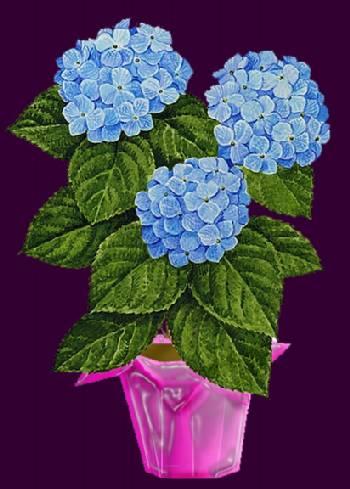 Planting transplanting and fertilizing hydrangeas - Care potted hydrangea ...