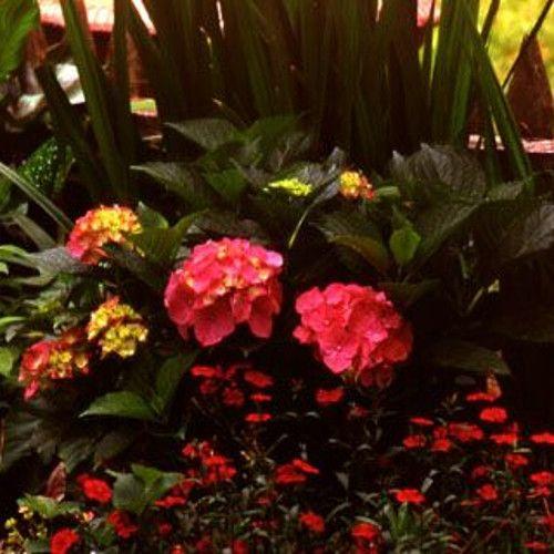 Forever Pink Hydrangea Bush