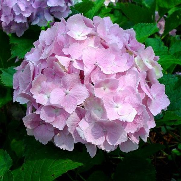 Frillibet Hydrangea Flower