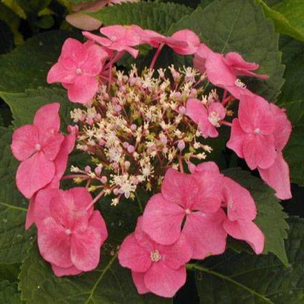 Geoffrey Chadbund Hydrangea Pink Flowers