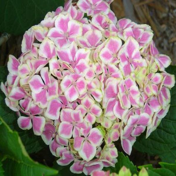 all about hydrangeas home page