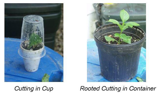 Propagating Hydrangeas | Plant Addicts