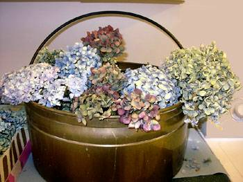 hydrangeas-dried-with-cornmeal-and-borax-compressor.jpg