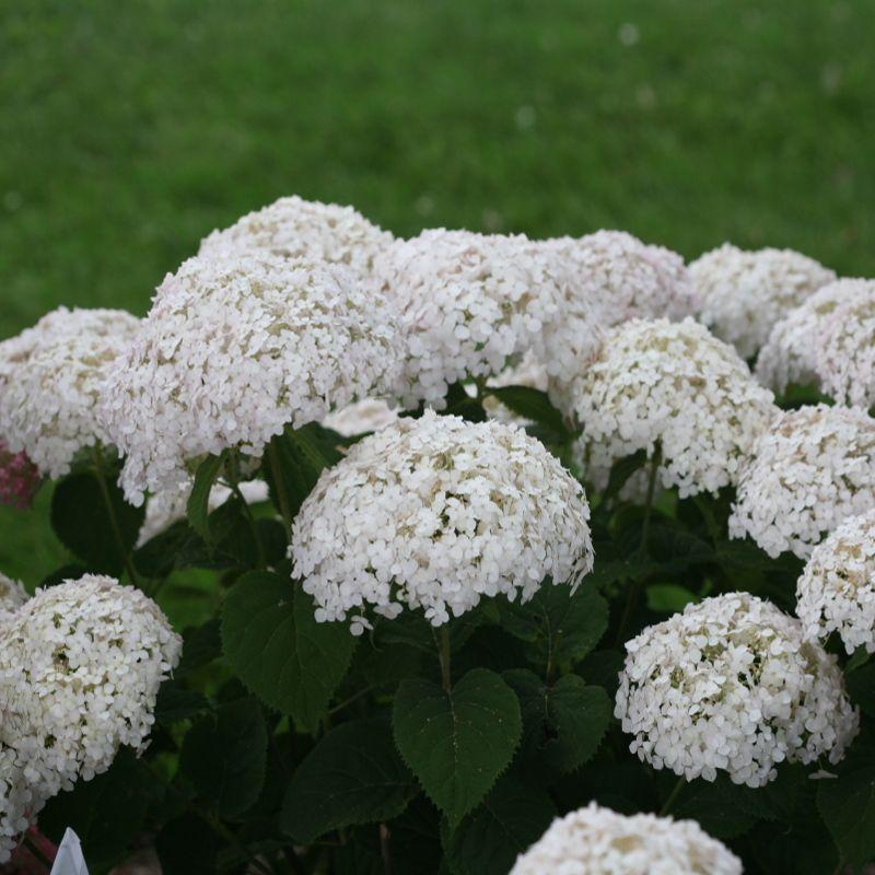 Invincibelle Wee White Smooth Hydrangea