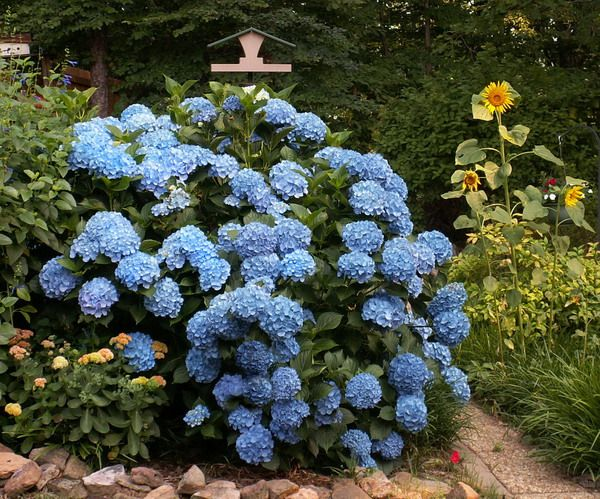 later-that-summer-hydrangea-compressor.jpg