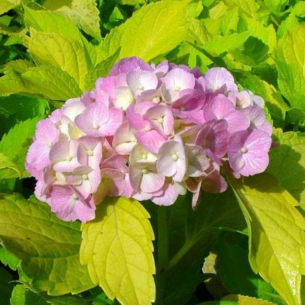 Lemon Zest Hydrangea Blooming