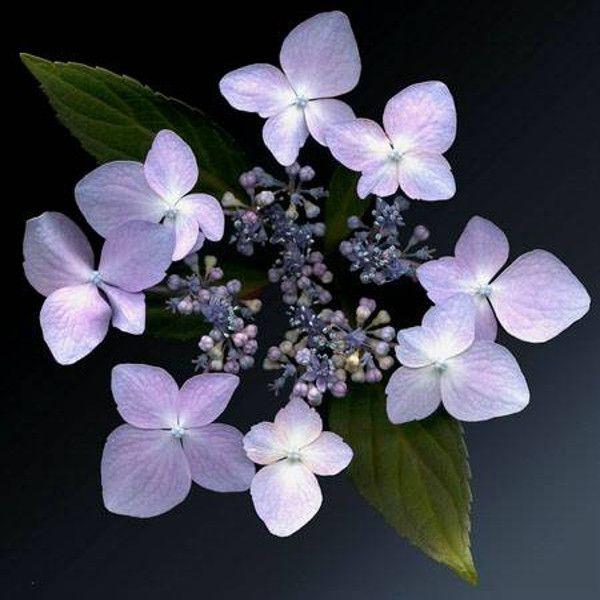 Lilacina Hydrangea Bloom