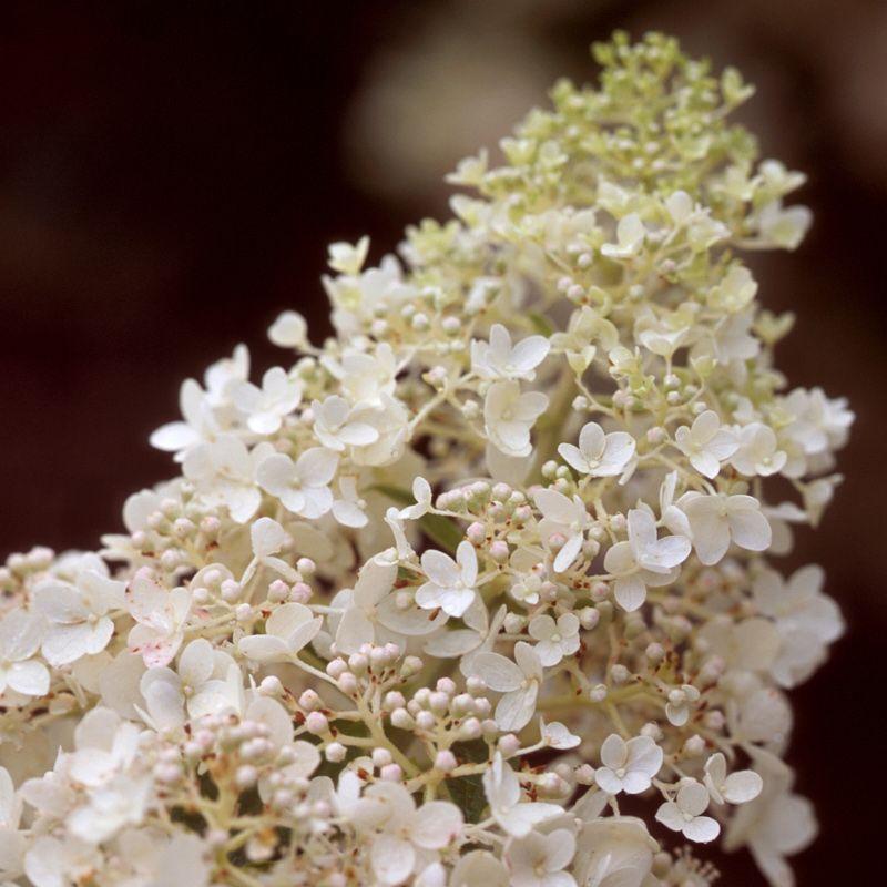 Little Lamb Hydrangea Blooms