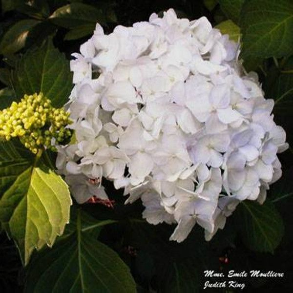 Madam Emile Mourillere Hydrangea Blooming