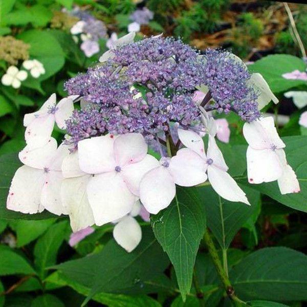 Mariesii Hydrangea Blooms