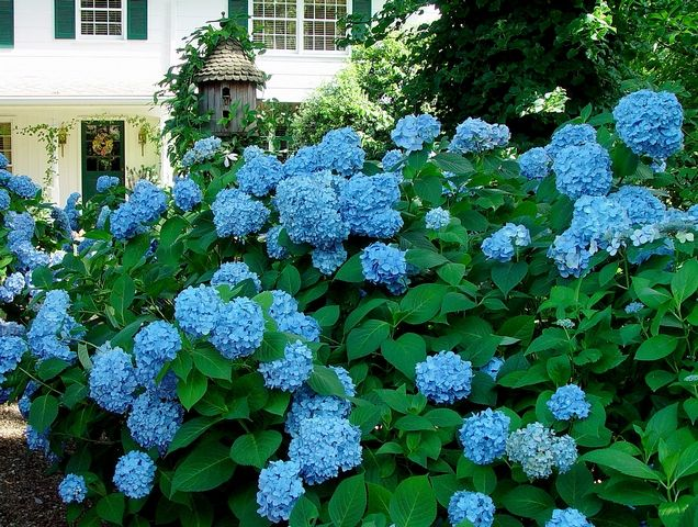 Home and hydrangeas of the late Penny McHenry.