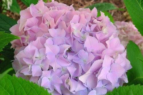 Mophead Hydrangea Petals