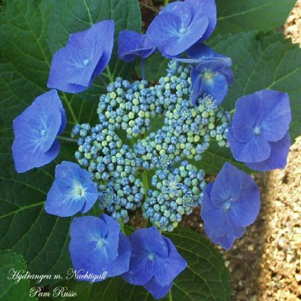 Nachtigall Hydrangea Blue Flowers