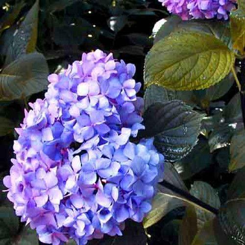 nigra hydrangea flowers u0027