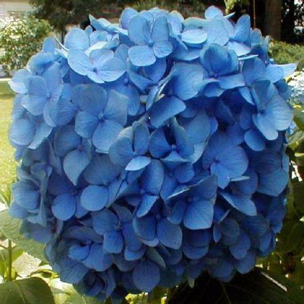 Nikko Blue Hydrangea Blooming