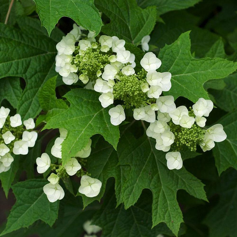 oakleaf-hydrangea-cropped.jpg