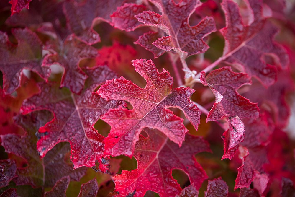 oakleaf-hydrangea-foliage-changing-colors-compressor.jpg