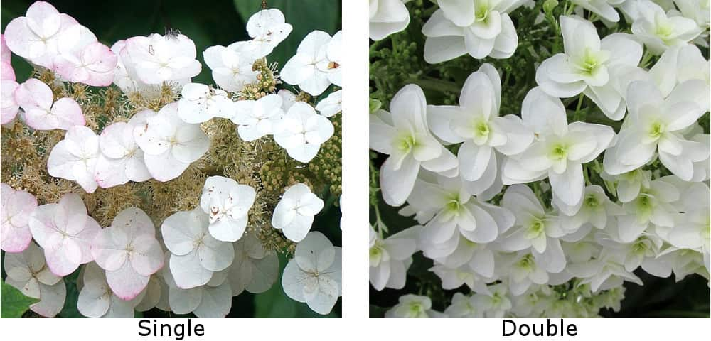 The double bloom vs. the single bloom