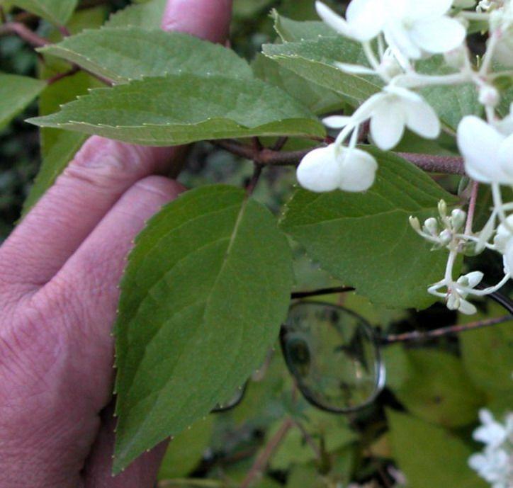 paniculata-hydrangea-leaves-indentification-compressor.jpg