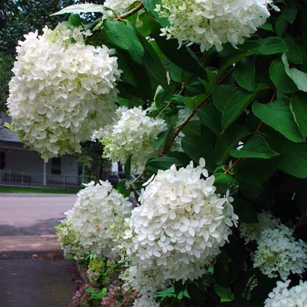 PeeGee hydrangea grown in Arlington, VA