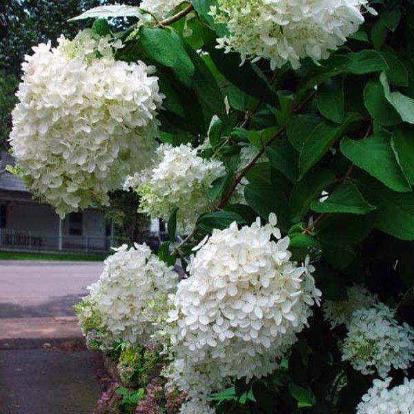 PeeGee Hydrangea Blooms