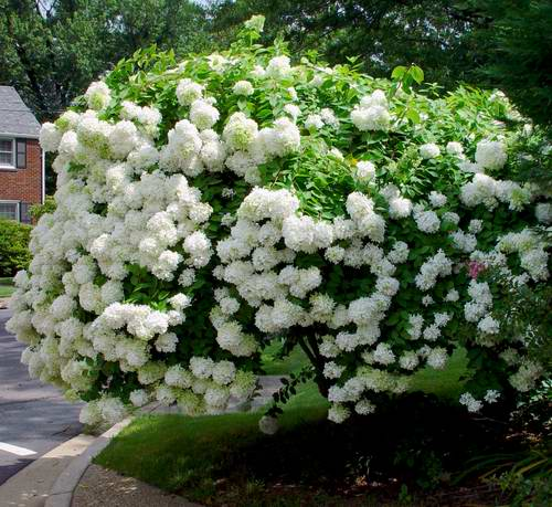 // The Plant Library, Scientific Name u2013 Hydrangea paniculata Common...