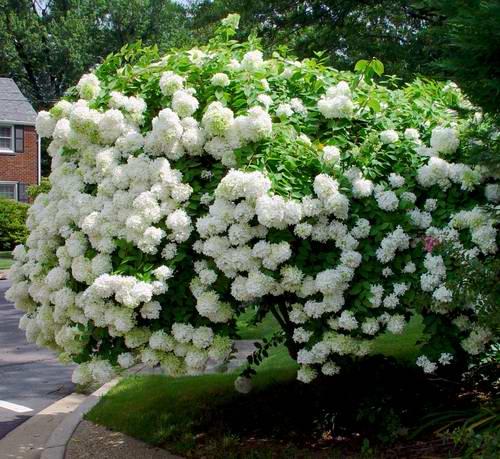 Paniculata Hydrangeas | PeeGee & Family | Plant Addicts