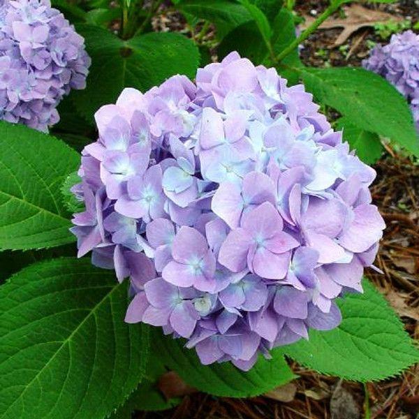 Penny Mac Hydrangea Flower